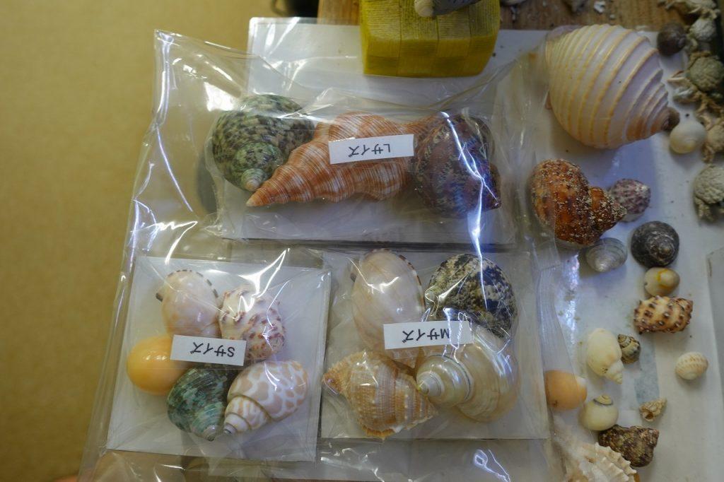 オカヤドカリの替えの貝殻