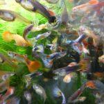 90センチ水槽には少なく見ても1000匹はいますが、少ないほうが魚のためには良いです。