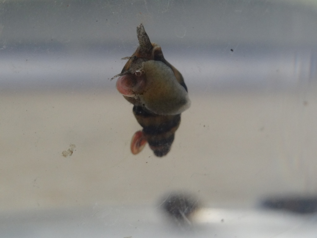貝を食べる貝、キラースネール