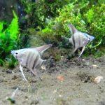 エンゼルフィッシュと混泳魚の喧嘩を避ける方法