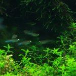 熱帯魚の飼育、繁殖には水草も有効