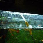 飼育する熱帯魚の水槽への入れ方